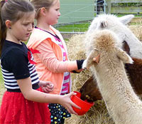Feeding the Alpacas at Quex Fair